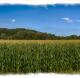 CornFieldPano-HDR_FRMG_4898